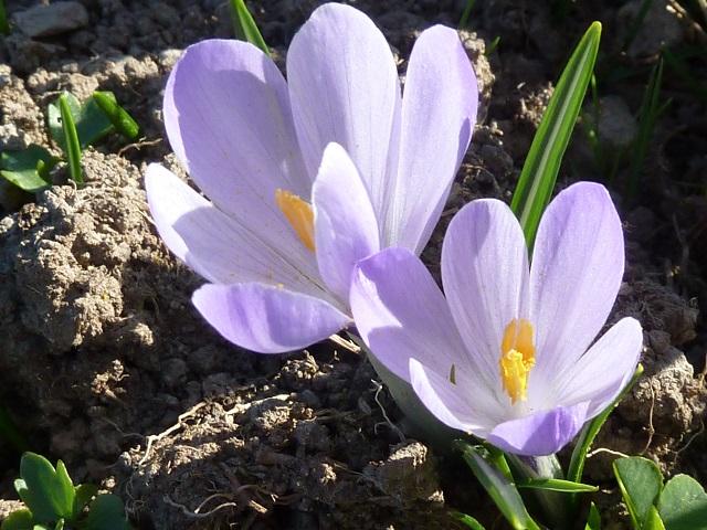 lila Krokusse am Hündle
