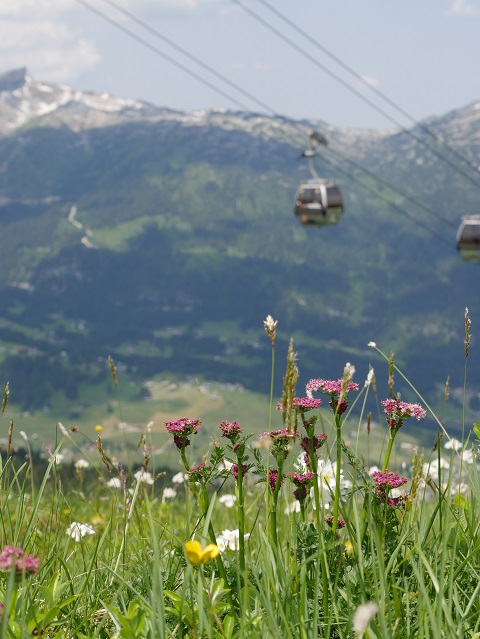 Bergblumen unter den Gondeln der Kanzelwandbahn