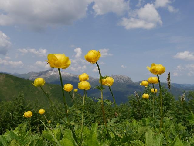 blühende Trollblumen mit Bergen im Hintergrund