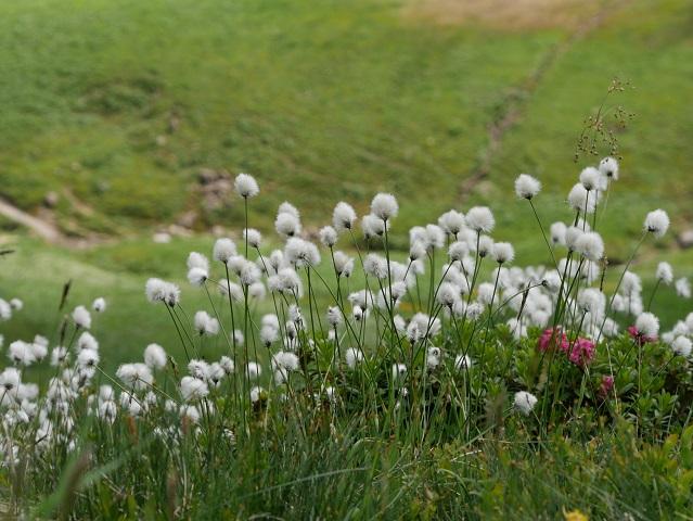 Wollgras am Fellhorn