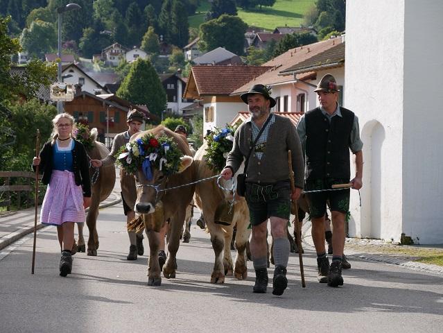 Hirten und geschmückte Rinder beim Viehscheid Buching