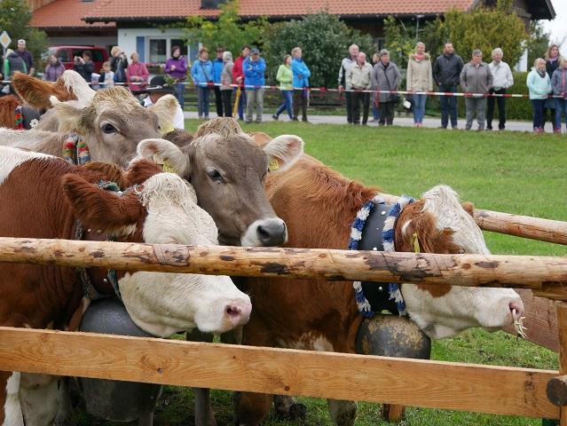 Anstehen zum eigentlichen Viehscheid