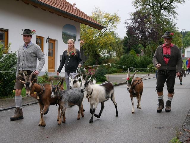 Ziegen beim Viehscheid Apfeltrang