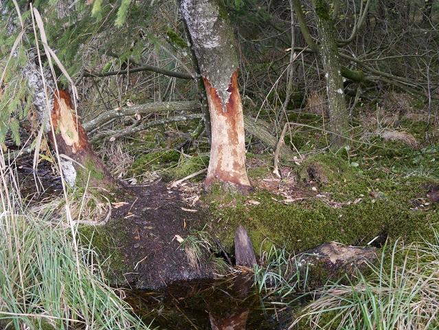 Bäume mit Biberbiss am Elbsee