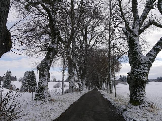 Lindenallee in verschneiter Landschaft