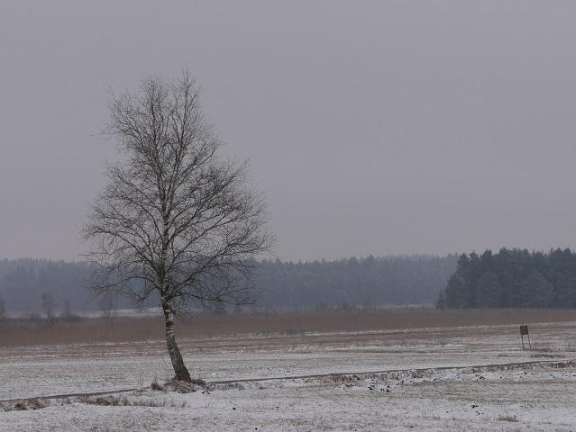 Winter am Elbsee - Birke in schneebeckter Moorlandschaft