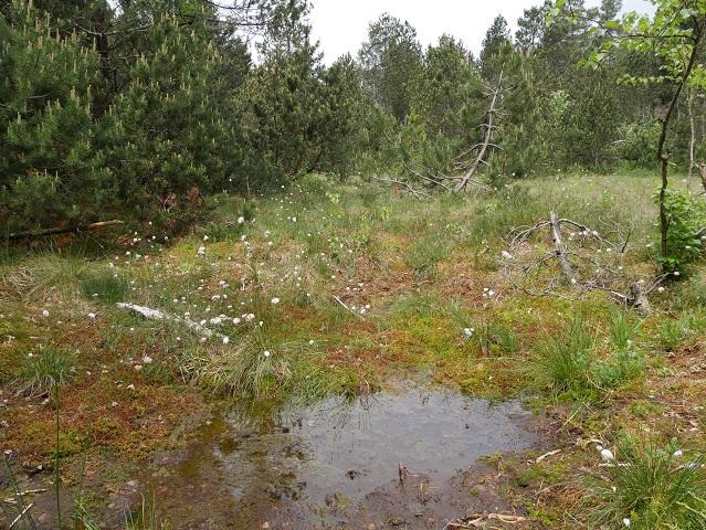 Wollgras-Supmpflandschaft im Werdensteiner Moos