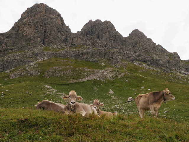 entspannte Jungkühe am Großen Widderstein im Kleinwalsertal