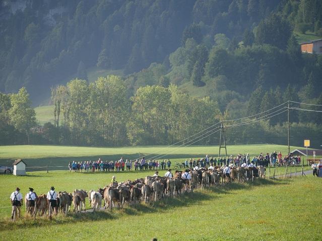 Herde von der Alpe Hinteregg beim Viehscheid Bolsterlang