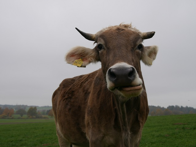 Tierisch - skeptische Kuh #FopaNet