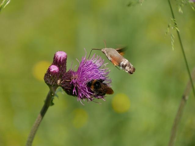 Taubenschwänzchen und Wildbiene an Distel