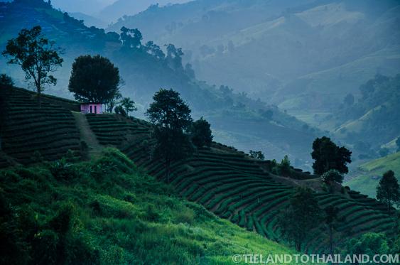 Trip to Mae Salong, Tea Crops