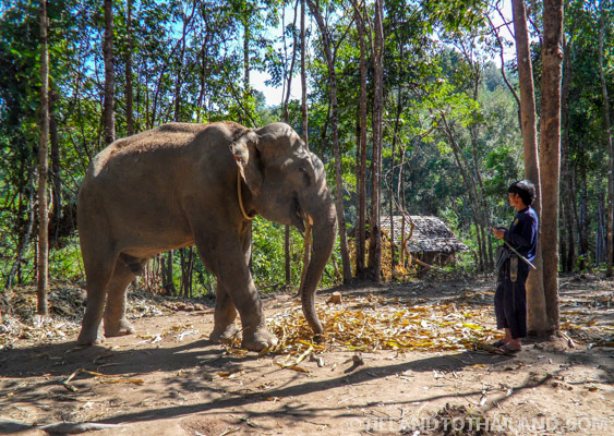 Bull with Mahout at Elephant Jungle Sanctuary