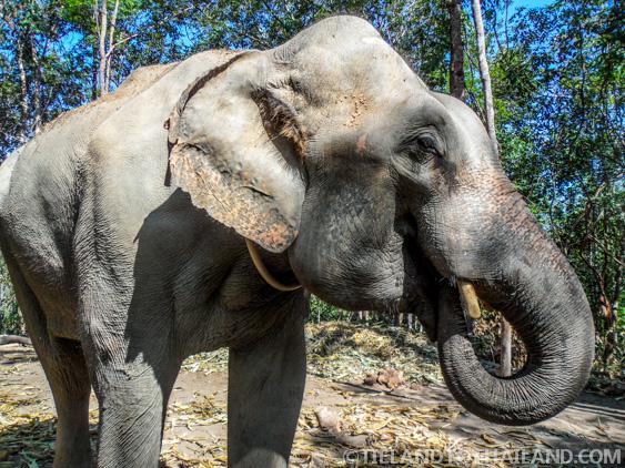 Oldest male at Elephant Jungle Sanctuary