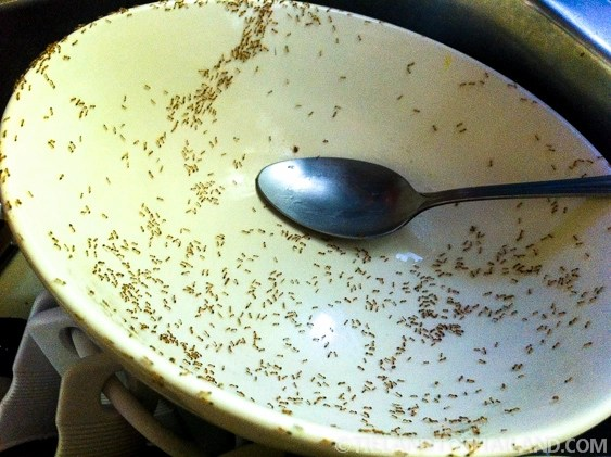 get rid of ants in the bathroom with Battle Against Thailands Bugs on Carpet Dry Cleaning Vs Steam Cleaning together with 490783 Small Gnats additionally Ridabugs additionally How to get rid of spiders in my room besides How To Get Rid Of Ants In The House.