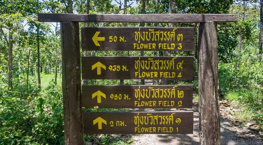 Siam Tulip fields in Sai Thong National Park