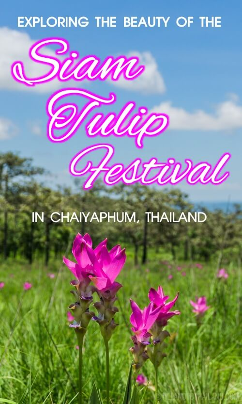 This flower festival in Isaan, the northeastern region of Thailand, is a gorgeous display of hot pink blooms. The best way to see them is to go for the annual Siam Tulip Festival in June, July, and August.