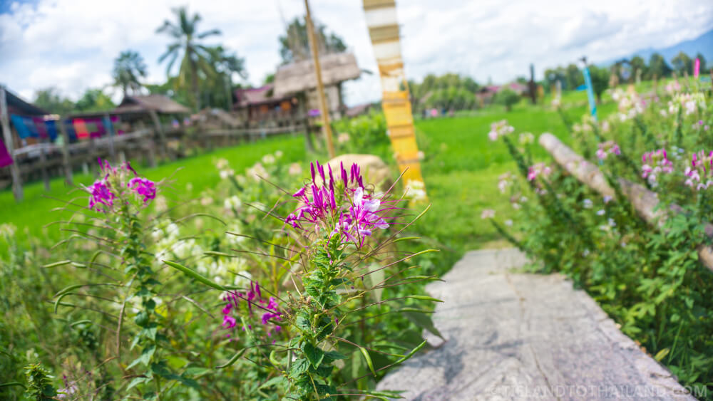 Cat's Whisker Flowers at Ban Tai Lue Cafe in Nan, Thailand