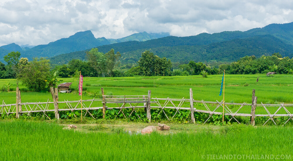 Rice Fields and Water Buffalo in Nan Thailand