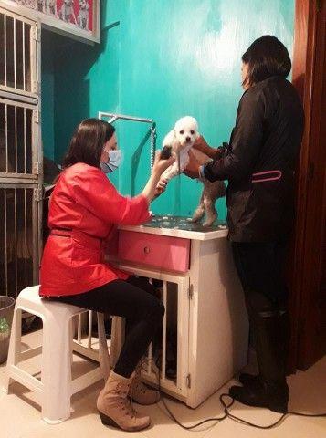 ¿Tienes un french poodle? Entérate cómo cuidarlo para gozar de su maravillosa compañía por varios años