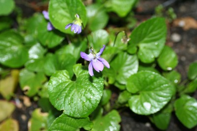 First harbinger of spring - blooming violets