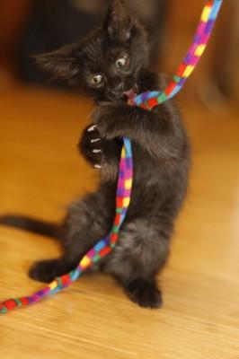 Fritz grabbing cat toy