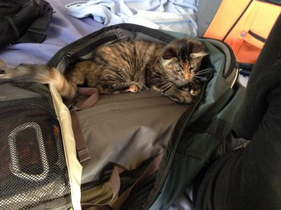 Tigress, investigating the luggage