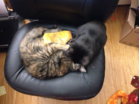Fritz and Tigress engaged in territorial combat over who gets to sit in my (warm) chair