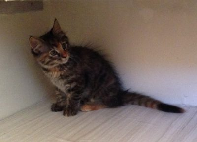 Tigress as a very young kitten