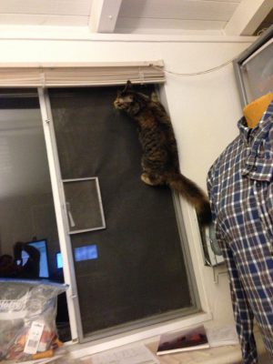 Tigress climbing the window screen