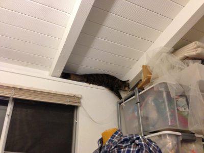 Tigress following the ledge