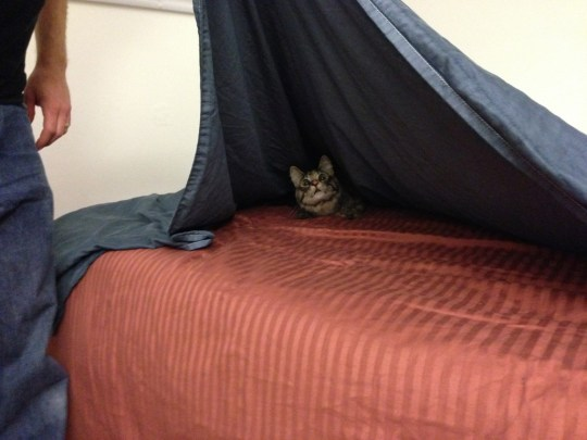 Tigress playing peekaboo under the covers