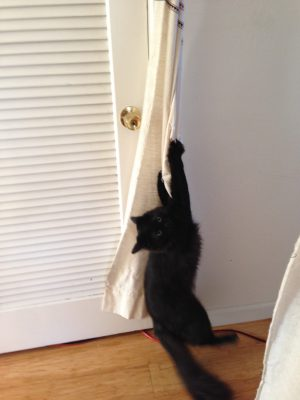 Fritz attempting to climb the drapes