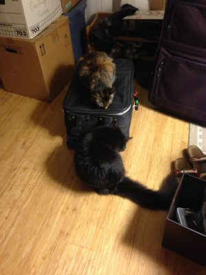 """Tigress playing """"Queen of the Luggage"""""""