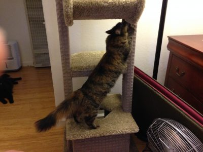 Tigress checking out the cat tree