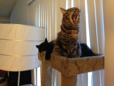 Tigress yawning