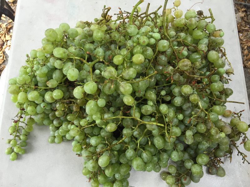 muscat grapes from our garden