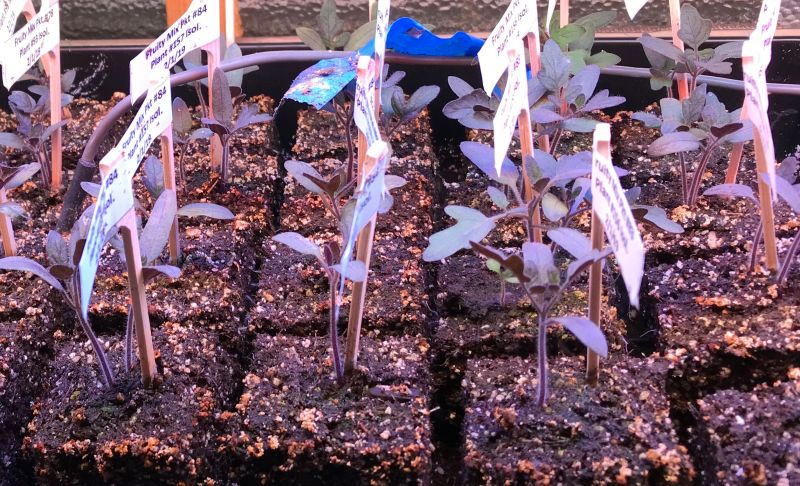 picture of purple tomato seedlings