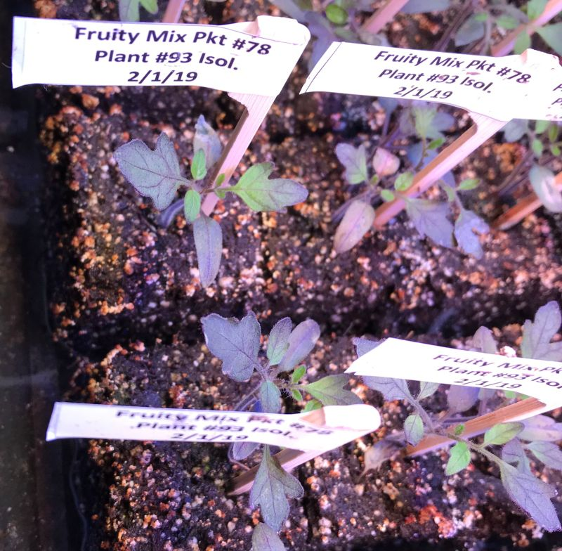 tomato seedling, purple on the outer edges and green in the center