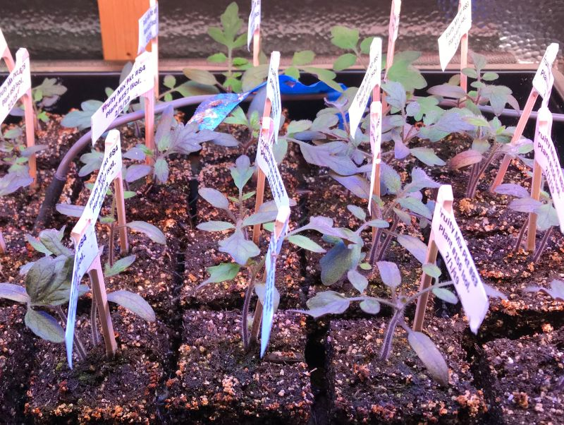 tomato seedlings recovering from a phosphorus deficiency