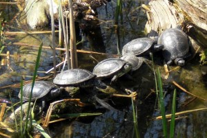 Der Schildkrötenteich 2