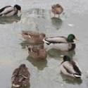 Warum bekommen Enten keine kalten Füße?