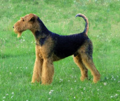 wikipedia - Airedale-terrier-charles14m