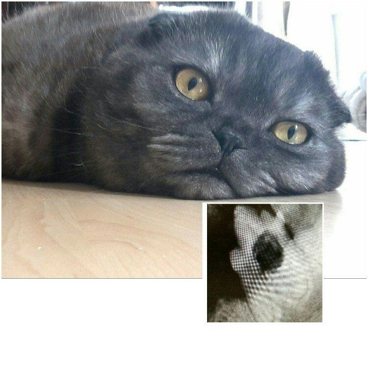 Katze mit FORL-Röntgenbild