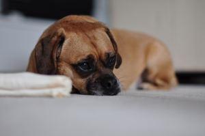 Hund depressiv oder physisch krank?