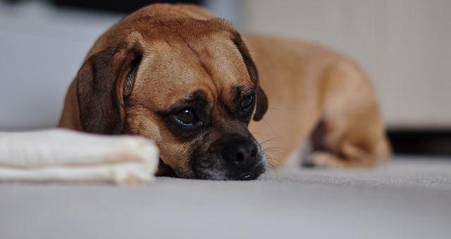 Kann der Hund depressiv sein?