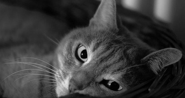 Die Katzenfloh-Impfung: Was Sie wissen sollten