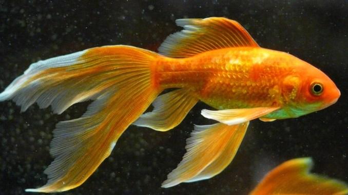 Karpfenfisch-klein-goldfisch