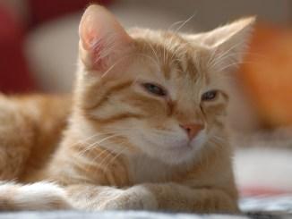 Europaeisch Kurzhaar Katzen sind beliebte Haustiere