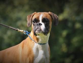 Deutscher-Boxer-hund